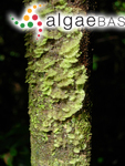 Trentepohlia arborum (C.Agardh) Hariot