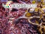 Sargassum ringgoldianum Harvey