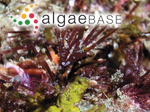 Gelidiopsis repens (Kützing) Weber Bosse