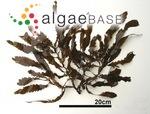 Sargassum giganteifolium Yamada