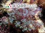 Spyridia plumosa F.Schmitz ex J.Agardh