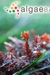 Osmundea spectabilis (Postels & Ruprecht) K.W.Nam