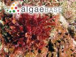 Amansia rhodantha (Harvey) J.Agardh