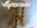 Entocladia endophytum (M.Möbius) D.M.John
