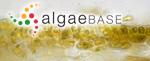 Entonema aecidioides (Rosenvinge) Kylin