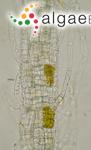 Punctaria laminariae (Lyngbye) P.Crouan & H.Crouan