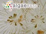 Elachista rivulariae Suhr ex Areschoug