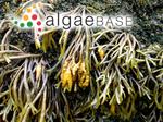 Fucodium canaliculatum (Linnaeus) J.Agardh