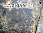 Petalonia zosterifolia (Reinke) Kuntze