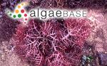 Sphaerococcus serra J.Agardh