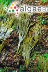 Fucus elongatus Linnaeus