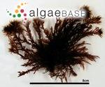 Symphyocladia latiuscula (Harvey) Yamada