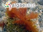 Gloiosiphonia capillaris (Hudson) Carmichael