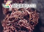 Corallina ungulata Yendo