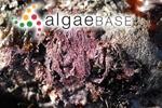 Corallina elongata J.Ellis & Solander
