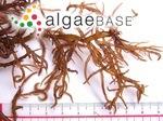 Hypnea japonica Tanaka