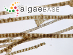 Sphacelaria novae-hollandiae Sonder