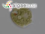 Phacus acuminatus A.Stokes