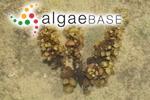 Sargassum turbinatifolium C.K.Tseng & Lu Baroen