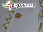 Phacus hispidulus (Eichwald) Klebs