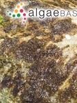 Porphyra leucosticta f. suborbiculata (Kjellman) Yendo