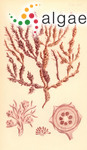 Gigartina speciosa Sonder