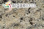 Nullipora calcareum (Pallas) Lamarck