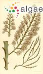 Cystophora spartioides (Turner) J.Agardh