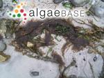 Lyngbya littoralis (Linnaeus) Dillwyn ex Gaillon
