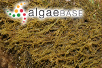 Gigartina spinella (C.Agardh) Greville