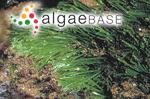 Caulerpa filiformis (Suhr) Hering