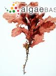 Phyllophora rubens (Linnaeus) Greville