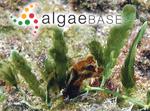 Caulerpa scalpelliformis f. intermedia (Weber Bosse) Svedelius