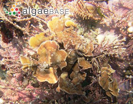 Halymenia pseudofloresii Collins & M.Howe