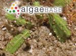 Caulerpa asplenioides Greville