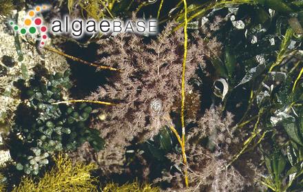 Pterocladiophila hemisphaerica K.-C.Fan & Papenfuss