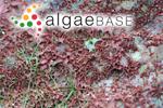 Trentepohlia purpurea (Lightfoot) C.Agardh
