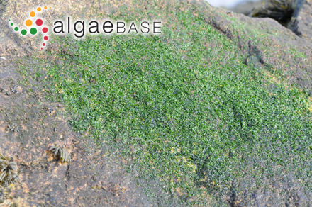 Calliclavula trifurcata C.W.Schneider