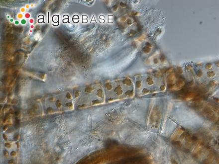 Herposiphonia bipinnata M.Howe