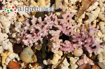 Herposiphonia pecten-veneris var. laxa W.R.Taylor