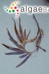 Macrocystis integrifolia Bory
