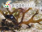 Haliseris delicatula (J.V.Lamouroux) C.Agardh