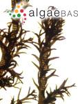 Polysiphonia thwaitesii Harvey ex J.Agardh