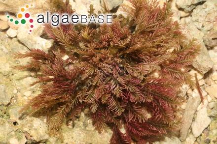 Onslowia endophytica Searles