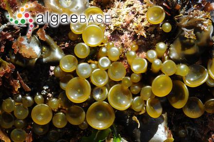 Dictyota ciliolata Sonder ex Kützing
