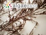 Gelidium elegans Kützing