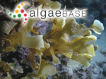 Spatoglossum asperum J.Agardh