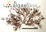 Gelidium amansii f. elegans (Kützing) Okamura