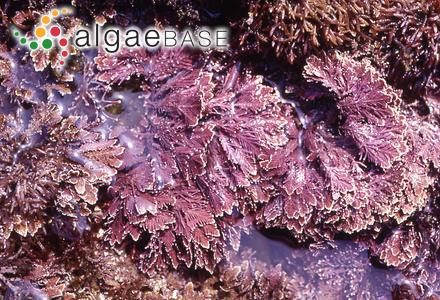 Cystoseira myrica var. occidentalis J.Agardh