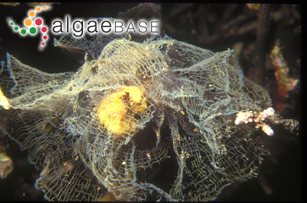 Sargassum cymosum var. nanum E.de Paula & E.C.Oliveira